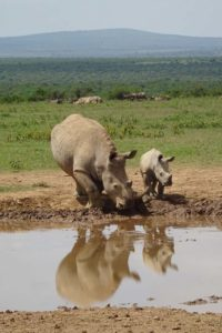 beautiful reflection of a white rhino with baby