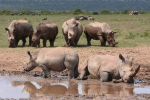 many white rhinos, they are usually less territorial than black rhino and can be seen together