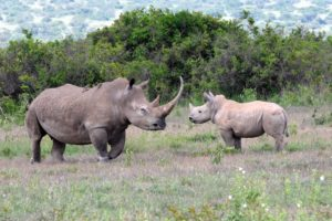 a beautiful white rhino mother with calf, her horn has never been removed and is very long