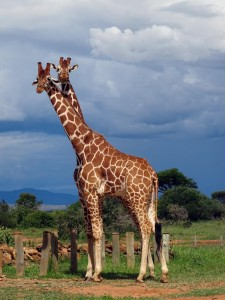 2 reticulated giraffes, probably the most pretty giraffes in Kenya