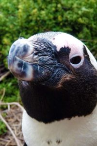 a curious African penguin