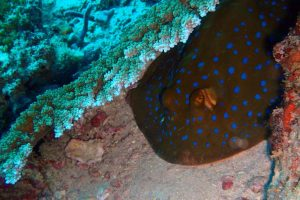 a bluespotted ribbontail ray trying to hide under some coral