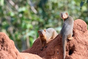 dwarf mongoose on a termite mount in Tarangire NP