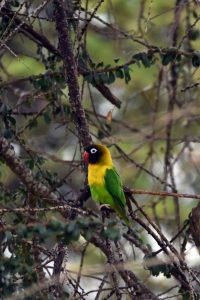 yellow-collared lovebird in Tarangire NP