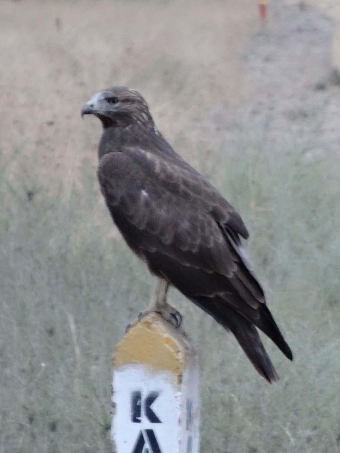 bird of prey, not sure which type (any thoughts?)