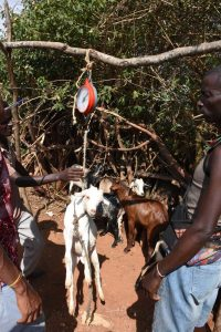 an effective way of weighing a goat at the market