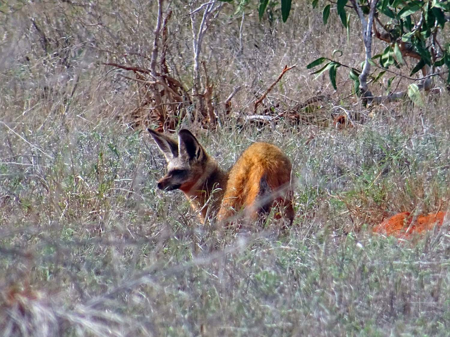 the bat-eared fox uses his huge ears to detect insects at night when it feeds, for example dung beetles and harvester ants. It also has the largest number of teeth of any African land mammal (45-50) (Tsavo East)