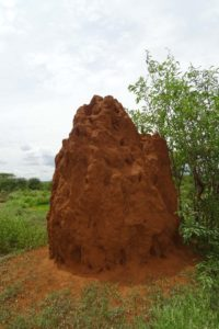 termite mounts can be huge in Tsavo West NP