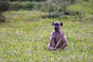 a young yellow baboon sitting in the grass in front of the bar at Hondo Hondo, a little earlier he tried to grab one of our handbags we had put down in the grass to take photos...