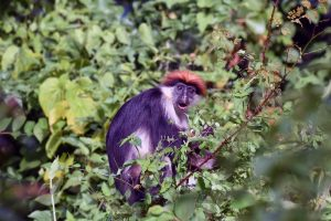 Udzungwa red colobus monkey