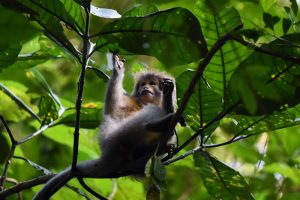the famous sanje mangabey, a primate only discovered in 1980, endemic to the Udzungwa Mountains