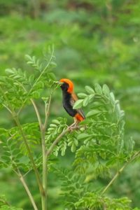 we spot a new bird - the Zanzibar red bishop