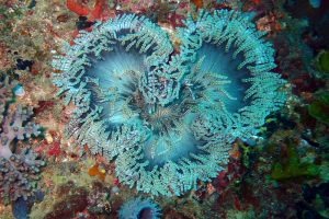 beautiful anemones can be seen on our Dar dives