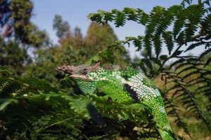 the giant usambara 2-horned chameleon