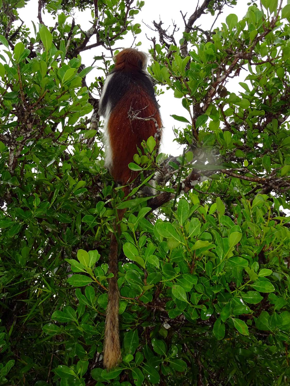 you can clearly see the red back ad tail of the red monkeys